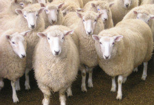 We are the sheep your knitting yarn comes from
