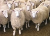 PERENDALE NEW ZEALAND SHEEP