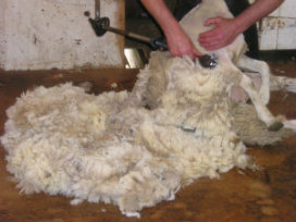 This is Our Wool Being Shorn